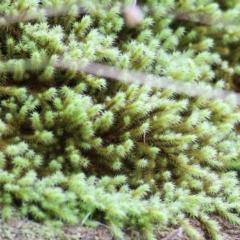 Unidentified Moss, Lichen, Liverwort, etc (TBC) at Wodonga - 4 Jun 2021 by Kyliegw