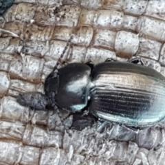 Adelium brevicorne (Bronzed field beetle) at Holt, ACT - 5 Jun 2021 by tpreston