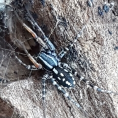 Nyssus coloripes (Spotted Ground Swift Spider) at Aranda, ACT - 5 Jun 2021 by tpreston