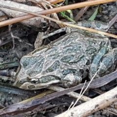 Limnodynastes tasmaniensis (Spotted Grass Frog) at Holt, ACT - 5 Jun 2021 by tpreston