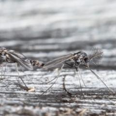 Chironomidae (family) (Non-biting Midge) at Bruce, ACT - 4 Jun 2021 by Roger
