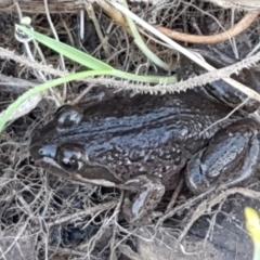 Limnodynastes tasmaniensis (Spotted Grass Frog) at Holt, ACT - 4 Jun 2021 by tpreston