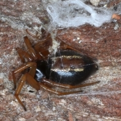Euryopis umbilicata (Striped tick spider) at Majura, ACT - 20 Aug 2020 by jbromilow50