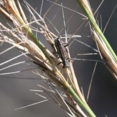 Lemidia sp. (genus) (Clerid beetle) at - 5 Jun 2021 by Kyliegw
