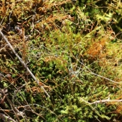 Unidentified Moss / Liverwort / Hornwort (TBC) at Jack Perry Reserve - 5 Jun 2021 by Kyliegw
