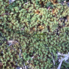 Polytrichaceae sp. (family) at Jack Perry Reserve - 5 Jun 2021