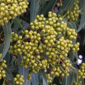 Unidentified Gum Tree (TBC) at suppressed by Kyliegw