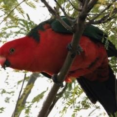 Alisterus scapularis (Australian King-Parrot) at Albury - 5 Jun 2021 by PaulF