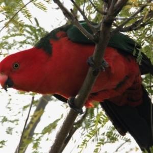 Alisterus scapularis (Australian King-Parrot) at Albury by PaulF