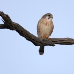 Falco cenchroides (Nankeen Kestrel) at Downer, ACT - 5 Jun 2021 by jbromilow50