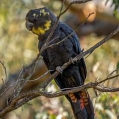Calyptorhynchus lathami (Glossy Black-Cockatoo) at Larbert, NSW - 5 Jun 2021 by trevsci