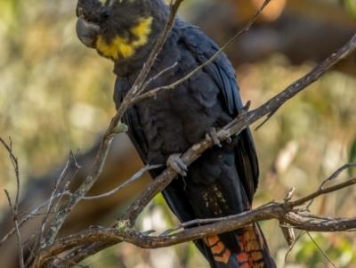 Calyptorhynchus lathami (Glossy Black-Cockatoo) at Nadgigomar Nature Reserve - 5 Jun 2021 by trevsci