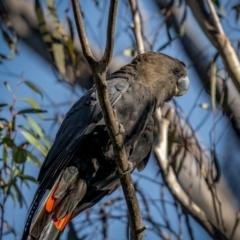 Calyptorhynchus lathami at Nadgigomar Nature Reserve - 5 Jun 2021