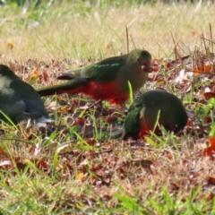 Alisterus scapularis (Australian King-Parrot) at Monash, ACT - 5 Jun 2021 by RodDeb