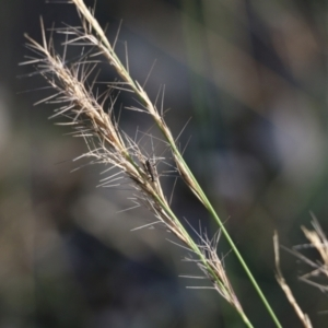 Aristida ramosa (Purple Wire Grass) at Jack Perry Reserve by Kyliegw