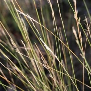 Aristida ramosa at Jack Perry Reserve - 5 Jun 2021