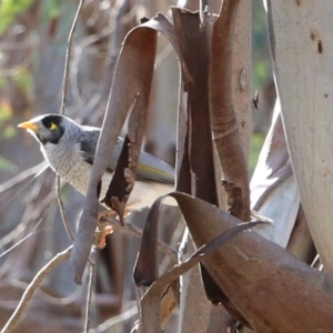 Manorina melanocephala (Noisy Miner) at Jack Perry Reserve by Kyliegw