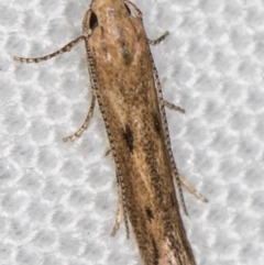 Gelechioidea (superfamily) (Unidentified Gelechioid moth) at Melba, ACT - 4 Nov 2020 by Bron