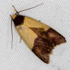 Heteroteucha dichroella (A concealer moth) at Melba, ACT - 4 Nov 2020 by Bron