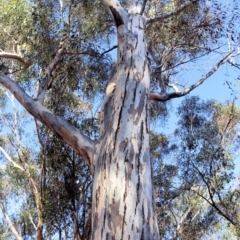 Eucalyptus blakelyi (Blakely's Red Gum) at Jack Perry Reserve - 5 Jun 2021 by Kyliegw