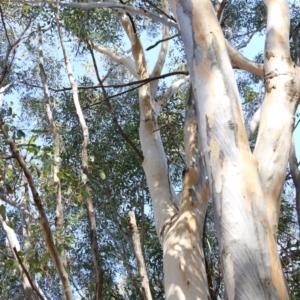 Eucalyptus blakelyi at Jack Perry Reserve - 5 Jun 2021