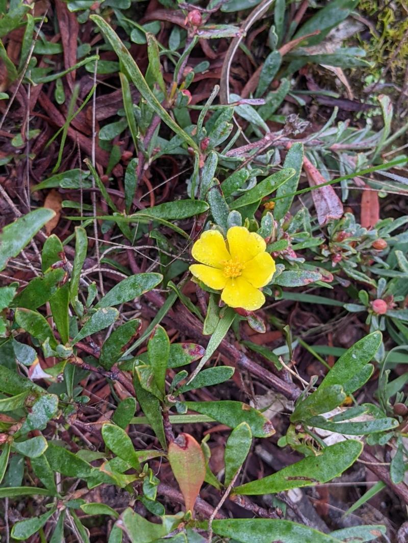 Hibbertia obtusifolia at Norris Hill - 2 Jun 2021