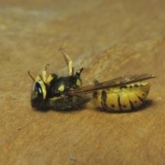 Vespula germanica (European wasp) at Conder, ACT - 2 May 2021 by michaelb