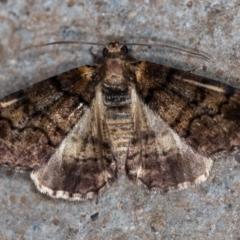 Cryphaea xylina (Woodland Geometrid) at Melba, ACT - 4 Nov 2020 by Bron