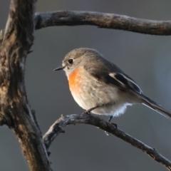 Petroica boodang (Scarlet Robin) at Mount Ainslie - 5 Jun 2021 by jbromilow50