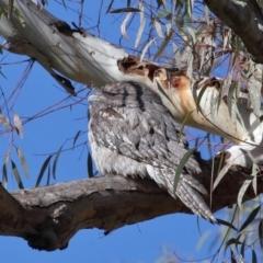 Podargus strigoides (Tawny Frogmouth) at Acton, ACT - 6 Jun 2021 by TimL