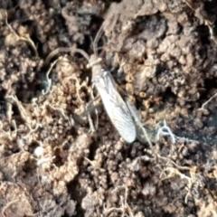 Melanacanthus scutellaris (Small brown bean bug) at Latham, ACT - 6 Jun 2021 by tpreston