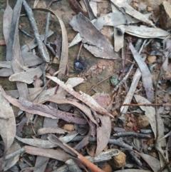 Gnaphosidae or Trochanteriidae (families) (Flat spider) at Nanima, NSW - 5 Jun 2021 by MunWhoop