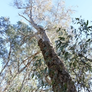 Eucalyptus blakelyi (Blakely's Red Gum) at Jack Perry Reserve by Kyliegw