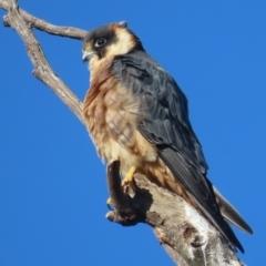 Falco longipennis (Australian Hobby) at Garran, ACT - 5 Jun 2021 by roymcd