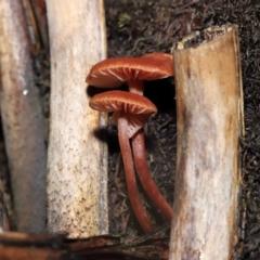 Laccaria sp. (A white-spored mycrorhizal mushroom) at Acton, ACT - 3 Jun 2021 by TimL