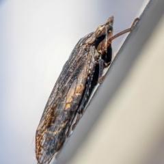 Stenocotis sp. (genus) (A Leafhopper) at Acton, ACT - 6 Jun 2021 by sciencegal