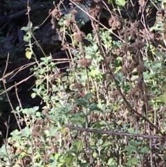 Marrubium vulgare (Horehound) at Kowen, ACT - 6 Jun 2021 by JaneR