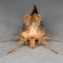 Chrysodeixis subsidens (A Noctuid moth) at Melba, ACT - 30 Oct 2020 by Bron