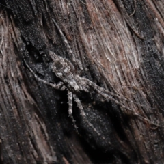 Tamopsis fickerti (Two-tailed spider) at Downer, ACT - 4 Jun 2021 by TimL