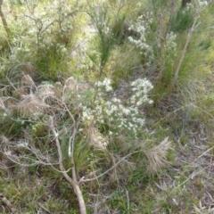 Hakea decurrens (Bushy Needlewood) at Boro, NSW - 4 Jun 2021 by Paul4K