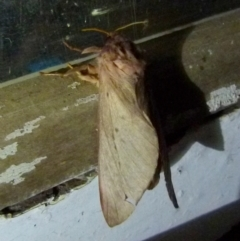 Hepialidae sp. (family) (Unidentified Swift or Ghost Moth) at Boro, NSW - 4 Jun 2021 by Paul4K
