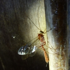 Netelia sp. (genus) (TBC) at Boro, NSW - 4 Jun 2021 by Paul4K