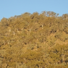 Eucalyptus rossii (Inland Scribbly Gum) at Conder, ACT - 30 Mar 2021 by michaelb