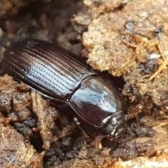 Uloma (Uloma) sanguinipes (Darkling beetle) at Watson Woodlands - 7 Jun 2021 by tpreston