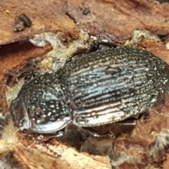 Seirotrana sp. (genus) (Darkling beetle) at Watson, ACT - 7 Jun 2021 by tpreston