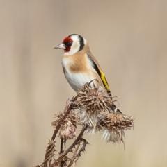 Carduelis carduelis (European Goldfinch) at Namadgi National Park - 7 Jun 2021 by Roger