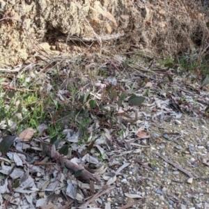 Hardenbergia violacea (False Sarsaparilla) at Nail Can Hill by Darcy
