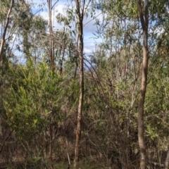 Acacia paradoxa (Kangaroo Thorn) at Albury - 7 Jun 2021 by Darcy