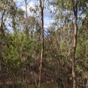 Acacia paradoxa (Kangaroo Thorn) at Albury by Darcy