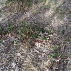 Hardenbergia violacea (False Sarsaparilla) at Nail Can Hill - 7 Jun 2021 by Darcy